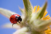 Shot of a Ladybird on a Yellow Flower against a Blue Sky