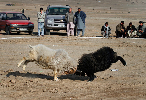 A crowd gathers to view the contest in a display of traditional entertainment,  as live animals are pitted to fight against each other in Kabul, Afghanistan on Friday, Feb. 19, 2010. (AP Photo/Musadeq Sadeq)