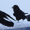 In this photo taken on Saturday Feb. 6, 2010, ravens flock near the Burger King near the Northway Mall in Anchorage on a snowy day. (AP Photo/Anchorage Daily News, Bob Hallinen)