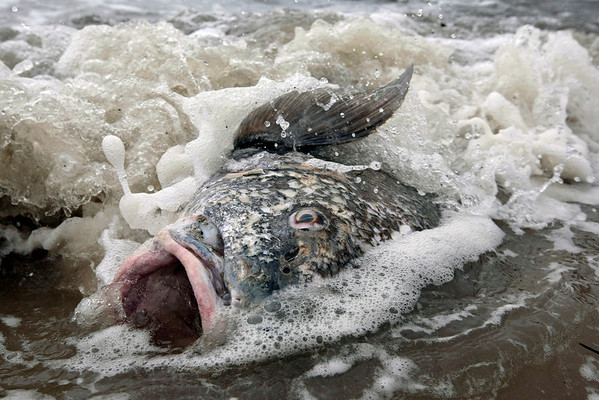 A large drum fish lies washed up on the beach in Long Beach, Miss., Sunday, May 2, 2010.  The cause of death is undetermined.  (AP Photo/Dave Martin)