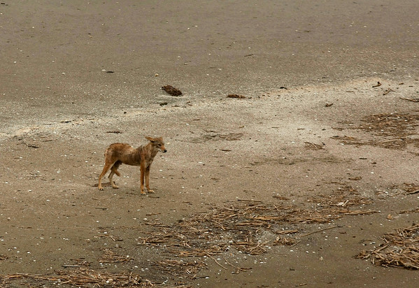 A coyote stands and looks out at the Gulf of Mexico at Pass A Loutre, La., where the Mississippi River meets the Gulf, Friday, April 30, 2010. Oil booms that were placed in preparation of the looming oil spill from last week's collapse and spill of the Deepwater Horizon oil rig. (AP Photo/Gerald Herbert)