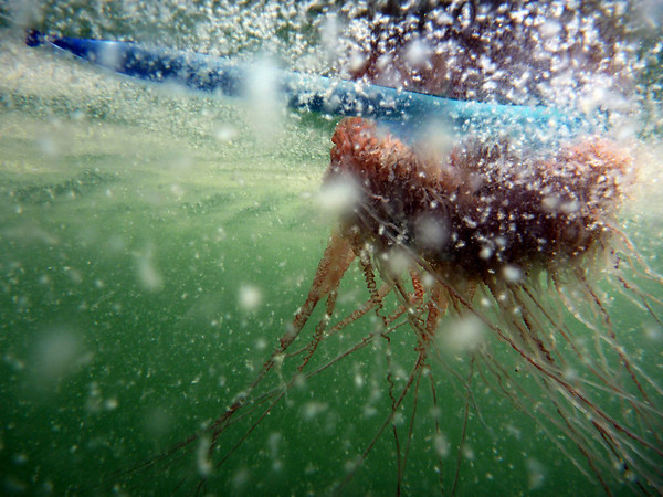 A Portuguese Man-O-War is seen from under the oily water in Chandeleur Sound, La., Thursday, May 6, 2010. Oil giant BP PLC's oil rig exploded April 20, in the Gulf of Mexico killing 11 workers. It sank two days later, and oil is still pouring into the gulf.(AP Photo/Alex Brandon)