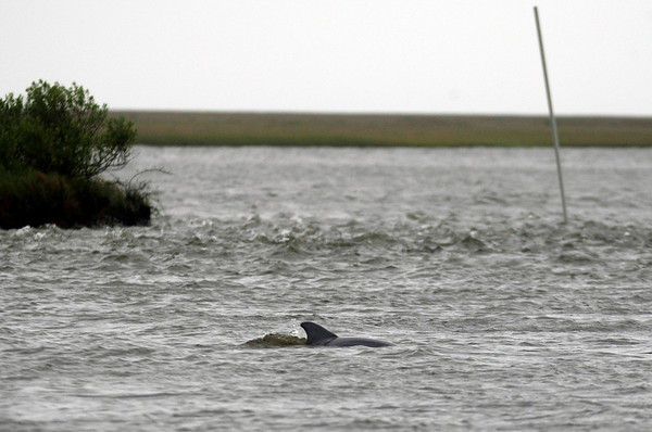 A dolphin swims near a marker for an oyster bed, right,  in Bayou Pete, a tributary of Breton Sound Out off the coast of Louisiana Sunday, May 2, 2010. Wildlife is vulnerable to the looming oil spill from the sinking of the Deepwater Horizon oil rig in Gulf of Mexico. (AP Photo/Gerald Herbert)