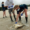Institute of Marine Mammal Sciences researchers Justin Main, center, and Kelly Folkedahl collect a dead sea turtle on the beach in Pass Christian, Miss., Sunday, May 2, 2010.  The researchers were collecting dead turtles and will examine them to determine the cause of death. (AP Photo/Dave Martin)