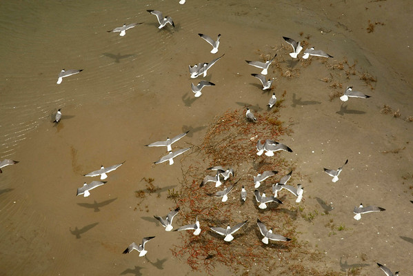 A flock of seagulls is seen on the Chandeleur Islands off the coast of Louisiana, Friday, April 30, 2010. The wildlife along the Louisiana Coast are vulnerable to the looming oil spill from last week's collapse and spill of the Deepwater Horizon oil rig. (AP Photo/Gerald Herbert)