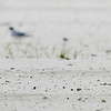 Least Terns stand on the beach in Biloxi, Miss. on Friday, April 30 2010. The oil spilling from a sunken rig in the Gulf could threaten the population which is in the middle of its breading season. (AP Photo/The Sun Herald, Amanda McCoy)  MANDATORY CREDIT; NO SALES, TV OUT; MISSISSIPPI PRESS OUT