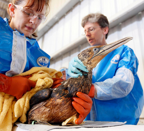 Dr. Erica Miller, right, and Danene Birtell with Tri-State Bird Rescue and Research work to help a Northern Gannet bird, covered in oil, normally white when full grown, at a facility in Fort Jackson, La., Friday, April 30, 2010. (AP Photo/Alex Brandon)