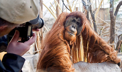 "A man takes photos of orang-utan Schubbi in the new Asia enclosure at the zoo in Gelsenkirchen, Germany, Tuesday, March 9, 2010. He is leader of a group of seven apes, who moved into their new home last week. After 10 years the close to nature ""Zoom Erlebniswelt"" is now completed. The reconstruction of the old zoo into a modern appropriate to the species habitat cost euro 95 million ($125 million). (AP Photo/Martin Meissner)"