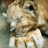 Month-old lion cub, Mello, lays his head on the paw of his mother Veni at Prigen Safari Park in Pasuruan, East Java, Indonesia, Thursday, March 18, 2010. (AP Photo/Trisnadi)