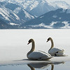 Two swans are sitting on the partly frozen lake Zeller See in Zell am See in the Austrian province of Salzburg, on Thursday, March 18, 2010. Meteorologists predict warm temperatures for the upcoming days. (AP Photo/ Kerstin Joensson)