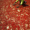 A villager dries red chilies at Rambha, about 90 kilometers (56 miles) south of Bhubaneswar, India, Friday, April 2, 2010. (AP Photo/Biswaranjan Rout)