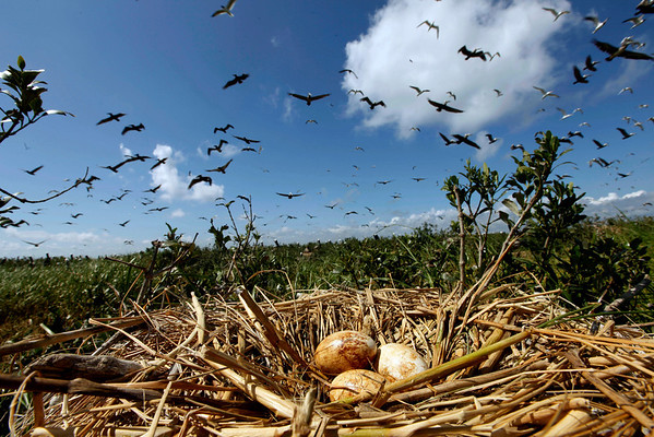 Pelicans fly past a nest of eggs on an island off the the coast of Louisiana, Saturday, May 22, 2010. The island, which is home to hundreds of brown pelican nests as well at terns, gulls and roseated spoonbills has been impacted by oil from the Deepwater Horizon Oil Spill. (AP Photo/Gerald Herbert)