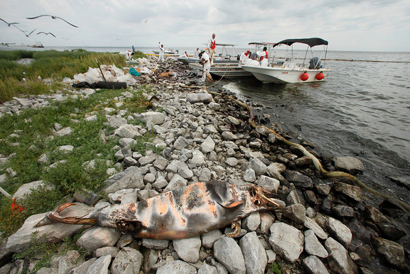 A dead dolphin marked with spray paint is seen as clean-up workers pick up blobs of oil in absorbent snare on Queen Bess Island at the mouth of Barataria Bay near the Gulf of Mexico in Plaquemines Parish, La., Friday, June 4, 2010. (AP Photo/Gerald Herbert)