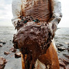 A clean-up worker picks up blobs of oil in absorbent snare on Queen Bess Island at the mouth of Barataria Bay near the Gulf of Mexico in Plaquemines Parish, La., Friday, June 4, 2010. (AP Photo/Gerald Herbert)