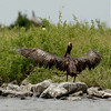An oiled Brown pelican stands on a the rocks at Queen Bess Island in Barataria Bay off the coast of Louisiana Friday, June 4, 2010. The bird was impacted by the Deepwater Horizon oil spill in the Gulf of Mexico. (AP Photo/Charlie Riedel)