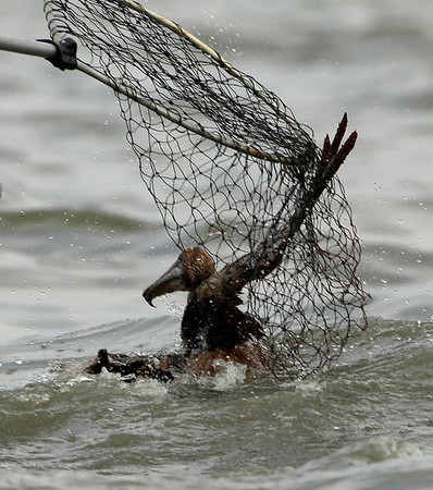 An oiled Brown pelican is rescued from Barataria Bay off the coast of Louisiana Friday, June 4, 2010. The bird was impacted by the Deepwater Horizon oil spill in the Gulf of Mexico. (AP Photo/Charlie Riedel)