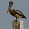 A lightly oiled Brown Pelican stands on a post near Cat Island off the coast of Louisiana Friday, June 4, 2010. The bird was impacted by the Deepwater Horizon oil spill in the Gulf of Mexico. (AP Photo/Charlie Riedel)