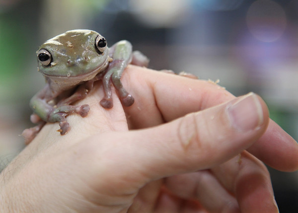 In this photo provided by Petco, an Australian white tree frog that will soon be up for adoption is held by exotic animal specialist James Ditmore at a Petco store in Dallas, Tuesday Feb. 9, 2010. The store will have over 2000 animals up for adoption that were rescued from Global Exotics, an Arlington, Texas based international pet wholesaler.  (AP Photo/Petco, Tim Sharp)