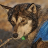 One of the dogs in rookie musher Emil Churchin's team prepares to leave the Takotna, Alaska  checkpoint on Friday, March 12, 2010 during the Iditarod Trail Sled Dog Race. (AP Photo/Anchorage Daily News, Bob Hallinen)