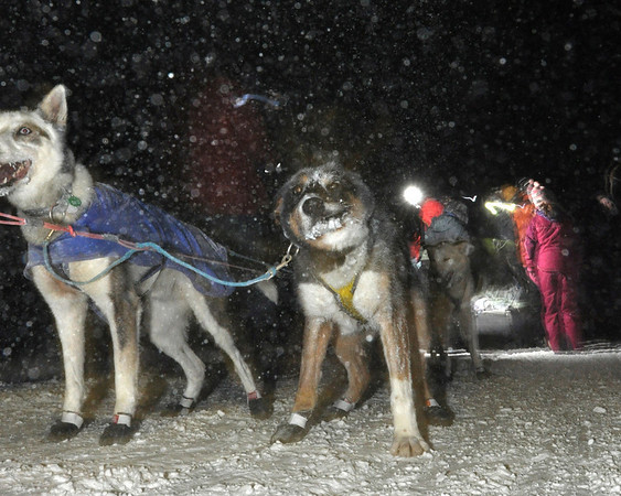 One of Hugh Neff's team dogs shakes off after arriving in the Kuskokwim River town of McGrath  on Tuesday, March 9, 2010 during the 2010 Iditarod Sled Dog Race. (AP Photo/Anchorage Daily News, Bob Hallinen)