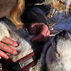 Kristy Berington rubs Algyval on her dog Graystone at the Ruby, Alaska checkpoint on Saturday morning March 13, 2010 on during the Iditarod Trail Sled Dog Race. (AP Photo/Anchorage Daily News, Bob Hallinen)