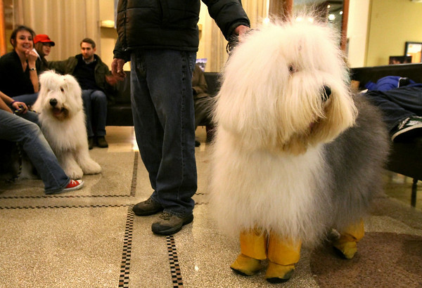 Wearing booties to keep his feet clean, Jazz, an Old English Sheepdog, foreground, is held by his owner Rick Douglas in the lobby of the Pennsylvania Hotel, Sunday Feb. 14, 2010 in New York. The 134th Westminster Kennel Club Dog Show will take place Feb. 15 and 16 at New York's Madison Square Garden. Douglas and Jazz are from Sayre, Pennsylvania. (AP Photo/Tina Fineberg)