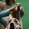 English Setters compete in the ring during the 134th Westminster Kennel Club Dog Show, Tuesday, Feb. 16, 2010 in New York. There are 2,500 dogs competing at Madison Square Garden for the coveted title of best in show. The top prize will be presented Tuesday night. (AP Photo/Mary Altaffer)