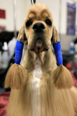 Lilly, a 2-year-old Cocker Spaniel, is groomed backstage during the 134th Westminster Kennel Club Dog Show, Tuesday, Feb. 16, 2010 in New York. (AP Photo/Mary Altaffer)