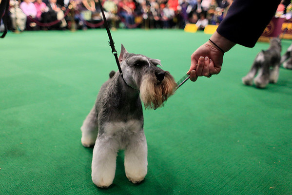 Blue, a 3-year-old Miniature Schnauzer, is combed in the ring  during the 134th Westminster Kennel Club Dog Show, Tuesday, Feb. 16, 2010 in New York. There are 2,500 dogs competing at Madison Square Garden for the coveted title of best in show. The top prize will be presented Tuesday night. (AP Photo/Mary Altaffer)