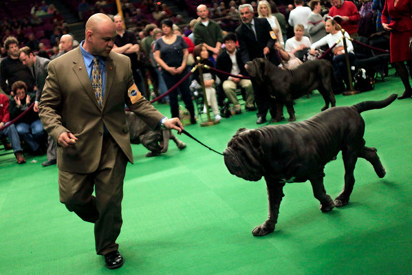 Tony Gurrola shows Bruno, a 3-year-old Neapolitan Mastiff, in the ring during the 134th Westminster Kennel Club Dog Show, Tuesday, Feb. 16, 2010 in New York.  (AP Photo/Mary Altaffer)