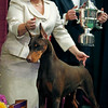 C.J., a Doberman pinscher, stands on the podium with handler Carissa DeMilta Shimpeno after winning the working group competition at the Westminster Kennel Club Dog Show in Madison Square Garden in New York, Tuesday, Feb. 16, 2010. (AP Photo/David Goldman)