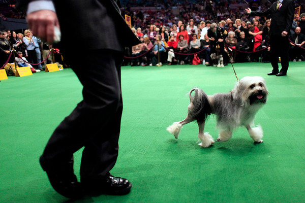 A lowchen walks in the ring during the 134th Westminster Kennel Club Dog Show, Monday, Feb. 15, 2010 in New York. There are 2,500 dogs competing at Madison Square Garden for the title of best in show, which will be presented Tuesday night. (AP Photo/Mary Altaffer)