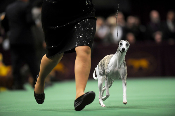 Chanel, a two-year-old whippet, wins the hound group at the Westminster Dog Show in Madison Square Garden in New York, Monday, Feb. 15, 2010. (AP Photo/Henny Ray Abrams)
