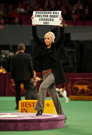 "A protester holding a sign, ""Breeders Kill Shelter Dogs' Chances,"" interrupts the best-in-show judging at the Westminster Kennel Club Dog Show at Madison Square Garden in New York, Tuesday, Feb. 16, 2010. (AP Photo/David Goldman)"