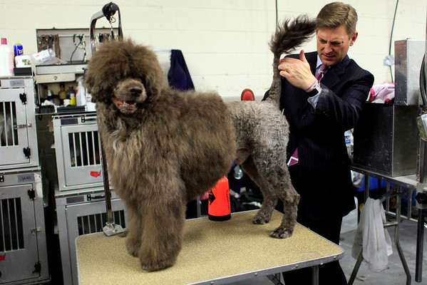 Larry Cornelius grooms Terry, a 4-year-old Portuguese Water Dog, backstage during the 134th Westminster Kennel Club Dog Show, Tuesday, Feb. 16, 2010 in New York.  (AP Photo/Mary Altaffer)