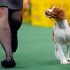 Tally, a Brittany, looks to the handler at the Westminster Kennel Club Dog Show at Madison Square Garden in New York, Tuesday, Feb. 16, 2010. Tally won the sporting dog group. (AP Photo/Henny Ray Abrams)