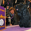 Sadie, a Scottish terrier, is the subject of photographers after winning best in show at the Westminster Kennel Club Dog Show at Madison Square Garden in New York, Tuesday, Feb. 16, 2010. (AP Photo/Henny Ray Abrams)