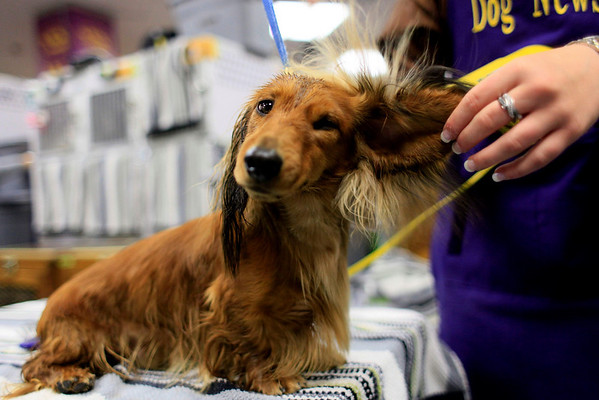 Fraiser, a 2-year-old dachshund  is groomed backstage during the 134th Westminster Kennel Club Dog Show, Monday, Feb. 15, 2010 in New York. There are 2,500 dogs competing at Madison Square Garden for the coveted title of best in show. The top prize will be presented Tuesday night. (AP Photo/Mary Altaffer)