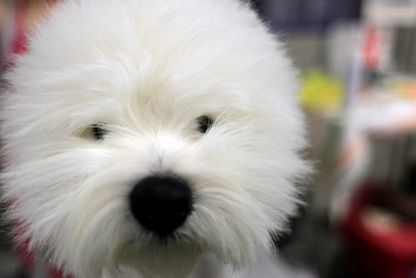 Danny, a 3-year-old White Terrier,  is groomed backstage during the 134th Westminster Kennel Club Dog Show, Tuesday, Feb. 16, 2010, in New York. There are 2,500 dogs competing at Madison Square Garden for the coveted title of best in show. The top prize will be presented Tuesday night. (AP Photo/Mary Altaffer)