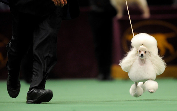 Walker, a toy poodle, wins the toy group at the Westminster Kennel Club Dog Show at Madison Square Garden in New York, Monday, Feb. 15, 2010. (AP Photo/Henny Ray Abrams)