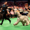 Westminster_Dog_Show_NY(28).JPG A handler shows an Afghan hound in the ring during the 134th Westminster Kennel Club Dog Show, Monday, Feb. 15, 2010, in New York. There are 2,500 dogs competing at Madison Square Garden for the title of best in show, scheduled to be presented Tuesday night. (AP Photo/Mary Altaffer)