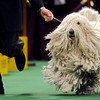 Major, a komodor, competes in the working group during the Westminster Kennel Club Dog Show at Madison Square Garden in New York, Tuesday, Feb. 16, 2010. (AP Photo/Henny Ray Abrams)