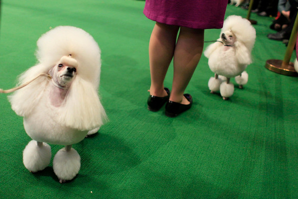 Toy poodles compete in the ring during the 134th Westminster Kennel Club Dog Show, Monday, Feb. 15, 2010, in New York. There are 2,500 dogs competing at Madison Square Garden for the title of best in show, to be presented Tuesday night. (AP Photo/Mary Altaffer)
