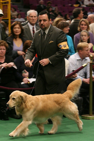 Clint Livingston shows Treasure, a 5-year-old golden retriever, in the ring during the 134th Westminster Kennel Club Dog Show, Tuesday, Feb. 16, 2010 in New York. There are 2,500 dogs competing at Madison Square Garden for the coveted title of best in show. The top prize will be presented Tuesday night. (AP Photo/Mary Altaffer)