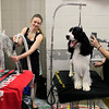 Kelly Wish, left, grooms Oakley, a German Wirehaired Pointer, alongside  Kaitlyn Sanchez grooming Aidan, an English Springer Spaniel back stage during the 134th Westminster Kennel Club Dog Show, Tuesday, Feb. 16, 2010 in New York. There are 2,500 dogs competing at Madison Square Garden for the coveted title of best in show. The top prize will be presented Tuesday night. (AP Photo/Mary Altaffer)
