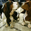 Basset hounds Gladiator, left, and his cousin Lola, touch noses in the lobby of the Pennsylvania Hotel, Sunday, Feb. 14, 2010, in New York. The 134th Westminster Kennel Club Dog Show will take place Feb. 15 and 16 at New York's Madison Square Garden. The dogs, both from Argentina, are scheduled to compete in the show. (AP Photo/Tina Fineberg)