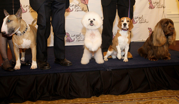 Former winners of the Westminster Kennel Club Dog Show, from left, Rufus, a Colored Bull Terrier, JR, a Bichon Frise,  Uno, a beagle,  and Stump a Sussex Spaniel, pose for photographs before a fundraiser for Angel on a Leash, a therapy dog organization, Saturday, Feb. 13, 2010  in New York. Competition in the 134th Westminster Kennel Club Dog Show will take place Feb. 15 and 16 at Madison Square Garden. (AP Photo/Frank Franklin II)