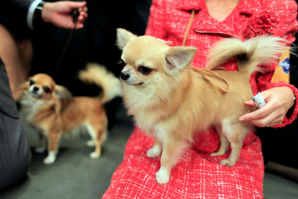 Famous, right, and Charm, long coat Chihuahuas from Nagoya, Japan, wait in the wings during the 134th Westminster Kennel Club Dog Show, Monday, Feb. 15, 2010 in New York. There are 2,500 dogs competing at Madison Square Garden for the title of best in show, scheduled to be presented Tuesday night. (AP Photo/Mary Altaffer)