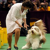 Roy, a bearded collie, finished third in the herding group at the Westminster Kennel Club Dog Show in Madison Square Garden in New York, Monday, Feb. 15, 2010. (AP Photo/Henny Ray Abrams)