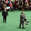 A Portuguese Water Dog competes in the ring during the 134th Westminster Kennel Club Dog Show, Tuesday, Feb. 16, 2010 in New York. There are 2,500 dogs competing at Madison Square Garden for the coveted title of best in show. The top prize will be presented Tuesday night. (AP Photo/Mary Altaffer)